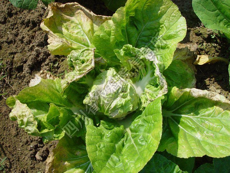 [图1]大白菜病毒病—花叶症状图片