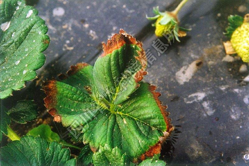 [图1]草莓根腐病—发病叶片症状