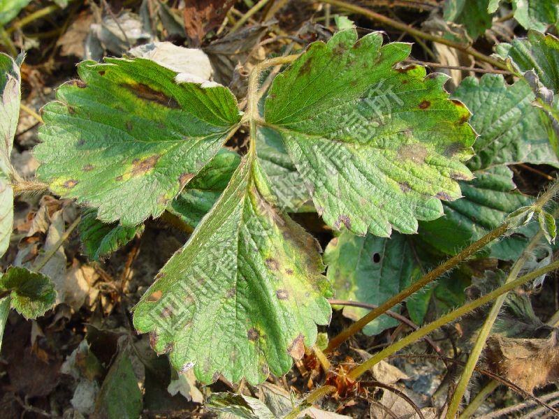 [图1]草莓褐斑病—发病叶片症状