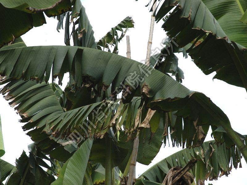 [图3]香蕉褐缘灰斑病—发病叶片症状