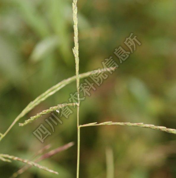 [图2] 柔枝莠竹—穗