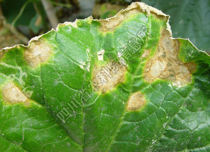 [图4]黄瓜炭疽病—潮湿条件下叶片上病斑
