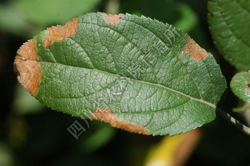 [图3]苹果轮纹病—叶片发病初期