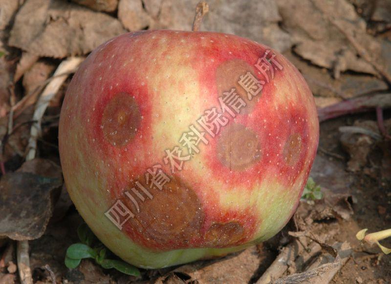 [图2]苹果炭疽病—发病后期