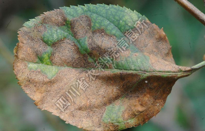 [图5]苹果褐斑病—混合型病斑