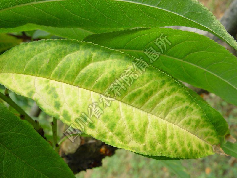 [图1]桃树潜隐花叶病—发病叶片症状