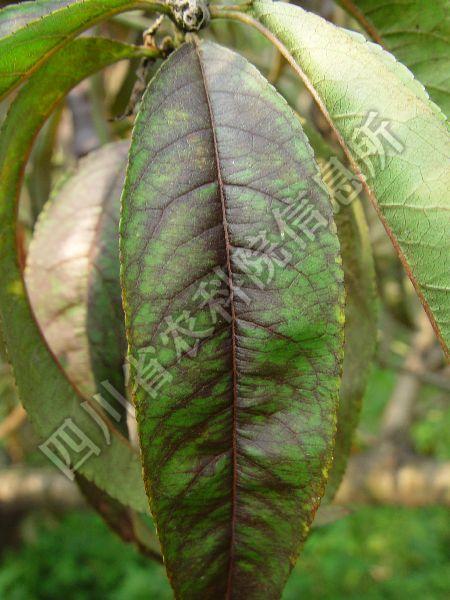 [图1]桃树红叶病—发病初期叶片症状