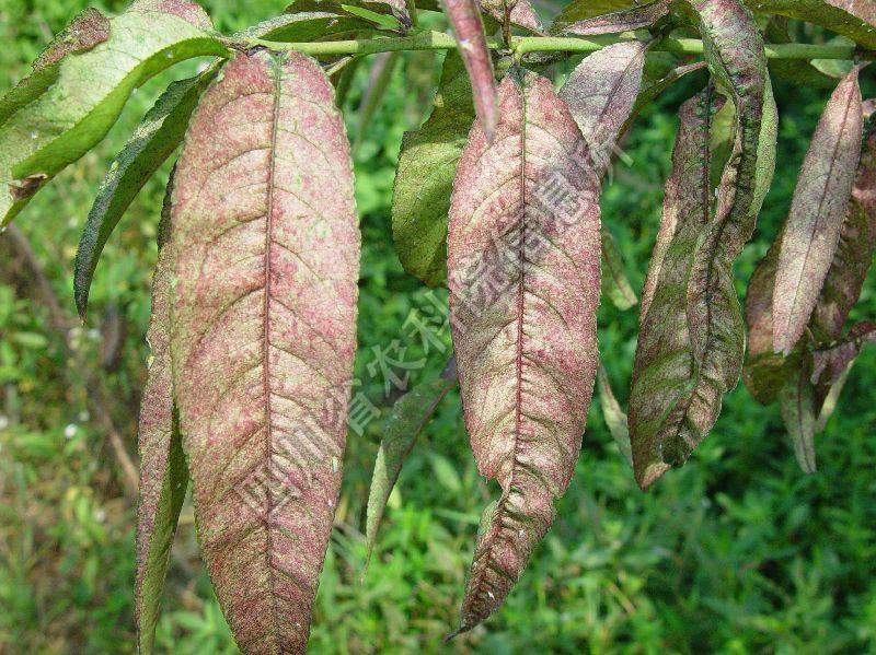 [图4]桃树红叶病—发病后期叶片症状