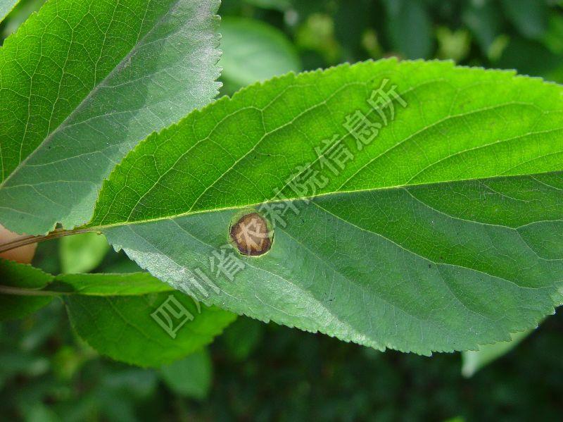 [图1]樱桃褐斑病—发病叶片症状