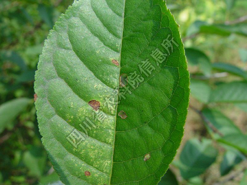 [图2]樱桃褐斑病—发病叶片症状