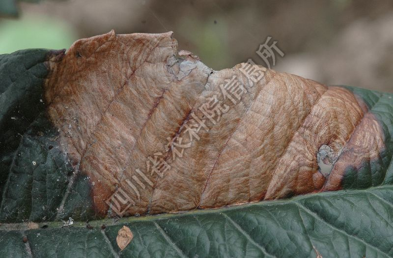 [图1]枇杷灰斑病-发病叶片