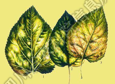 桑树叶部常见的真菌病害.各栽桑地区普遍发生