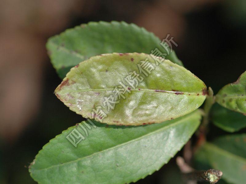 [图1]茶圆赤星病—发病叶片症状